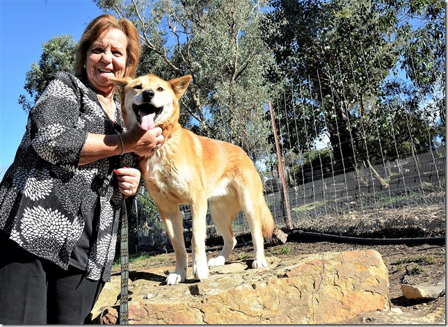 Tehree Gordon with Bee the dingo at Chewton's Dingo Conservation Centre which is set to host the Songs in the Sticks music festival this Sunday.