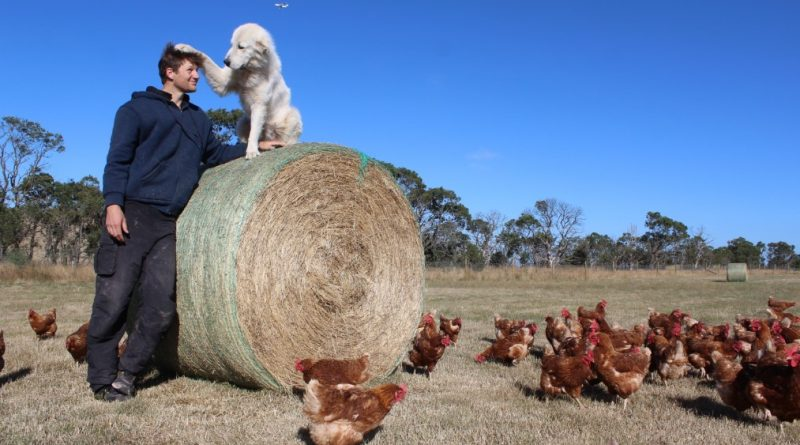 Benjamin Way with maremma Lucy who has proven to be a great companion and protector of the hens. Photo: Amy Hume