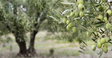 Olive growers in Pastoria's east have argued their farm would suffer without the constant on-ground care that a house on their property would allow them to deliver.