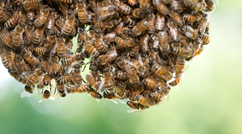 Swarming bees have no home to defend and their only concern at that point is finding a new one.