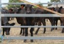 Scorching temperatures brought animal welfare to the fore as Kyneton prepared for its annual weaner calf sale last Wednesday.